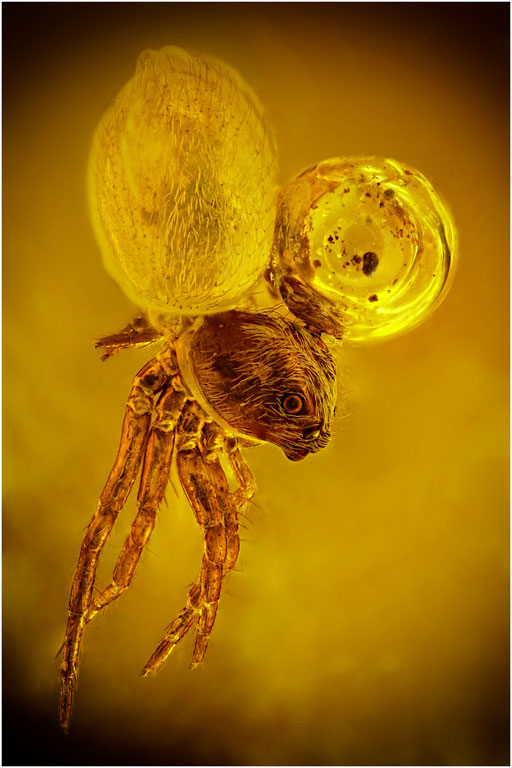 181.  Salticidae, Springspinne, Baltic Amber