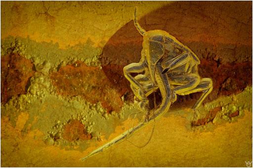 492b. Aphidoidea, Blattlaus, Baltic Amber