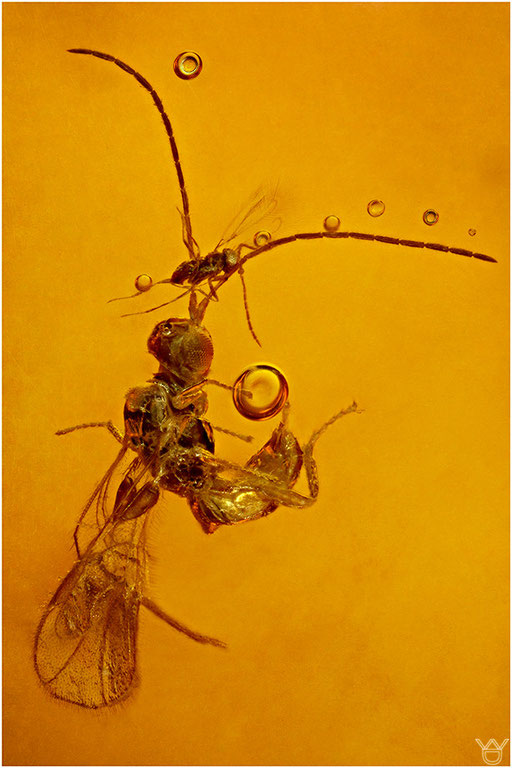 190. Mymaridae, Zwergwespe, Baltic Amber