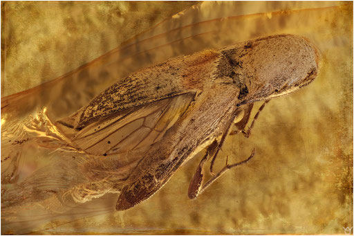 160. Elateridae, Schnellkäfer, Baltic Amber