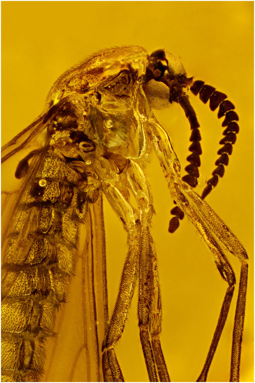 278a. Anisopodidae, Pfriemenmücke, Dominican Amber