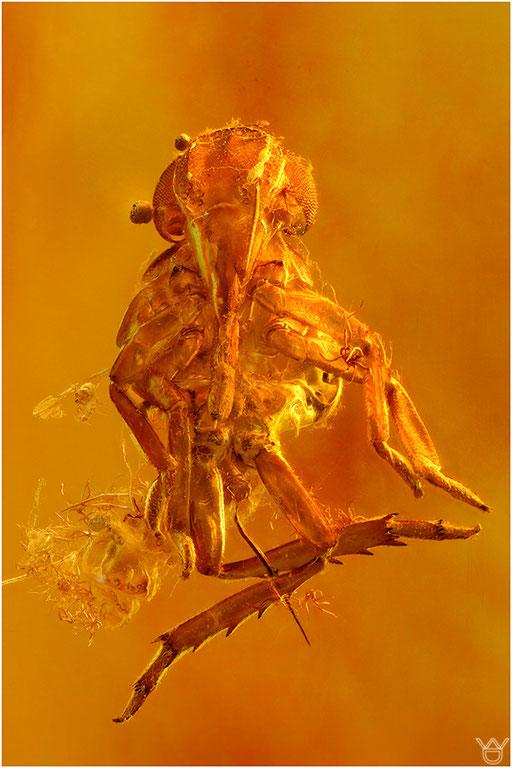 306b. Cicadina, Zikade, Baltic Amber