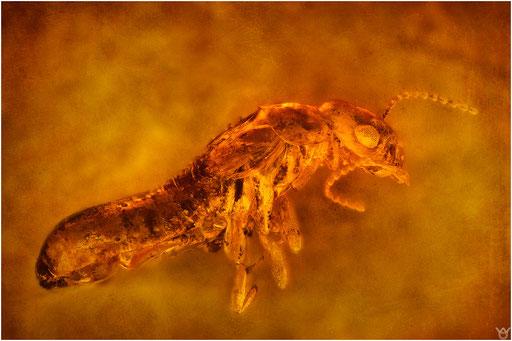 458. Isoptera, Termite, Dominican Amber