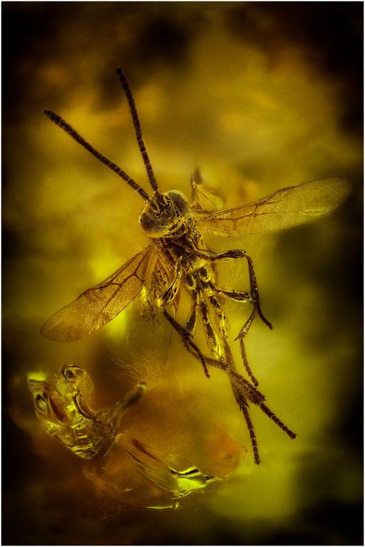 178. Braconidae, Brackwespe, Baltic Amber
