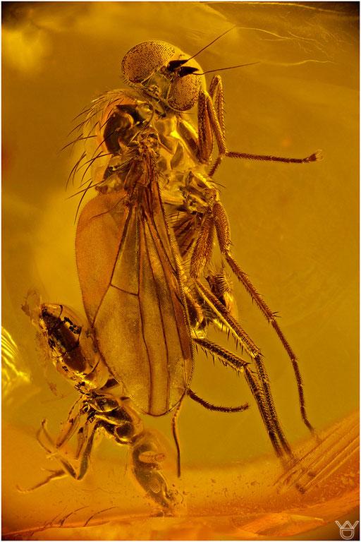 259. Brachycera, Fliege, Baltic Amber