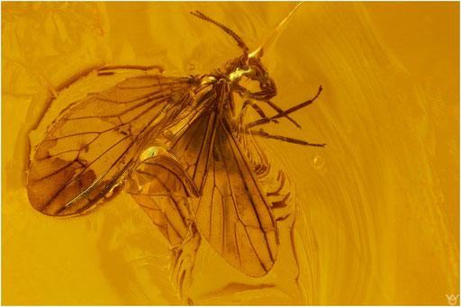281. Neuroptera, Netzflüger, Baltic Amber