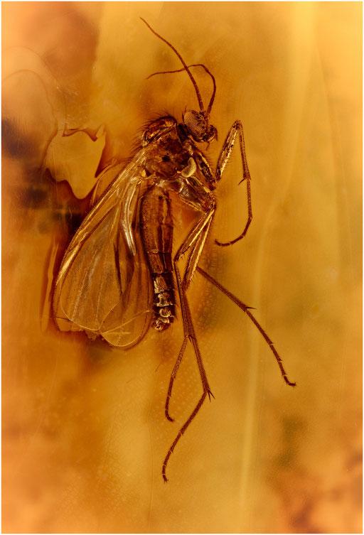 175. Nematocera, Mücke, Baltic Amber