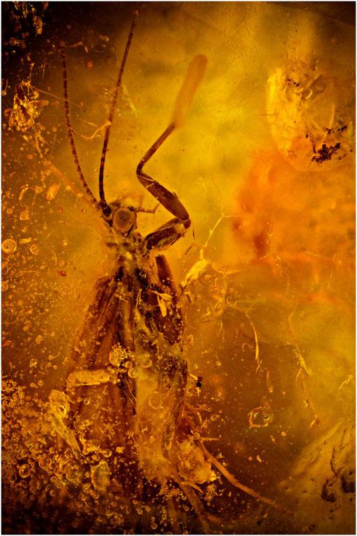 503. Köcherfliege, Trichoptera, Baltic Amber