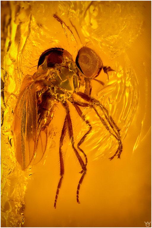 19. Diptera, Fliege, Baltic Amber