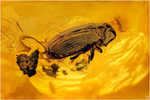 440. Coleoptera, Käfer, Baltic Amber