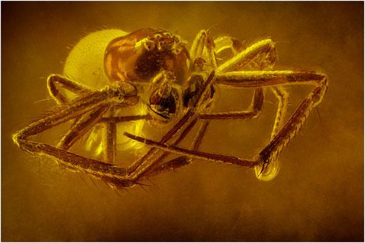 169. Araneae, Spinne, Baltic Amber
