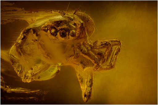 162. Salticidae, Springspinne, Baltic Amber