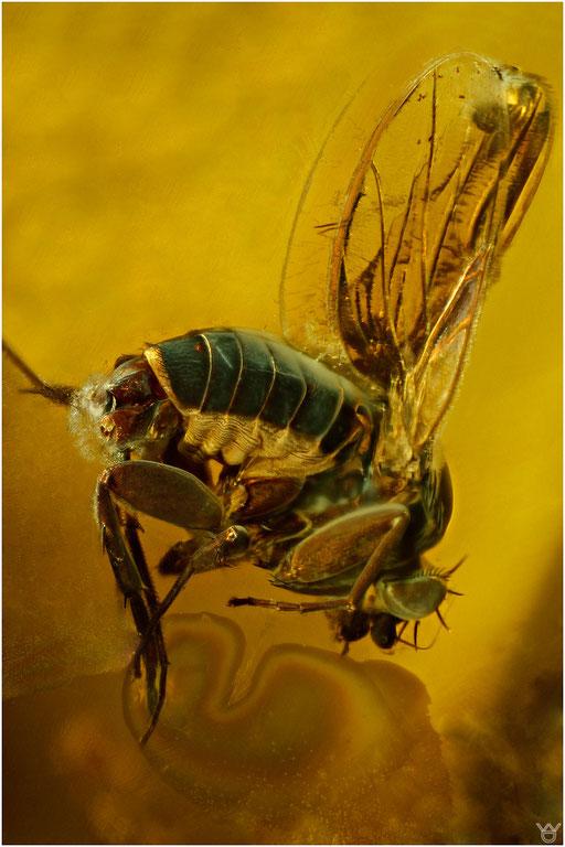 211. Brachycera, Fliege, Baltic Amber
