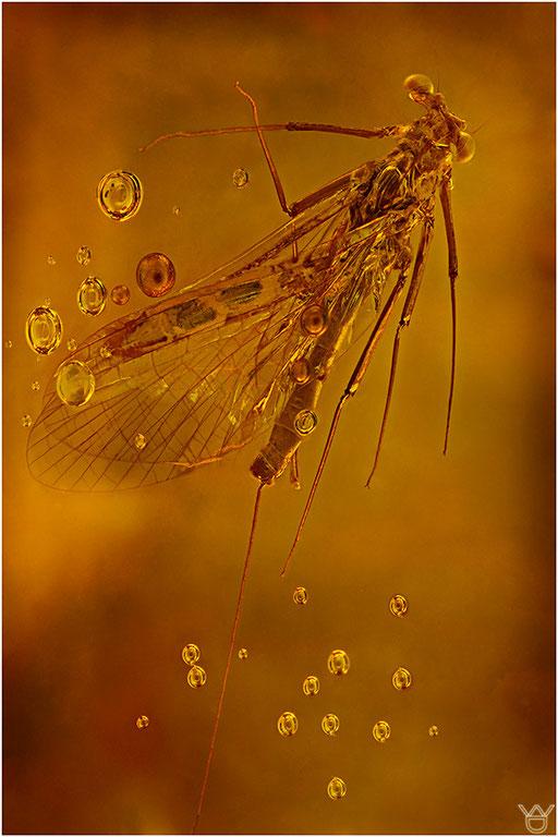 270a. Ephemeroptera, Eintagsfliege, Dominican Amber