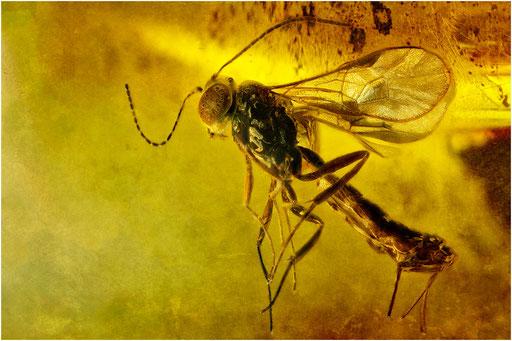 513. Hymenoptera, Wespe, Baltic Amber
