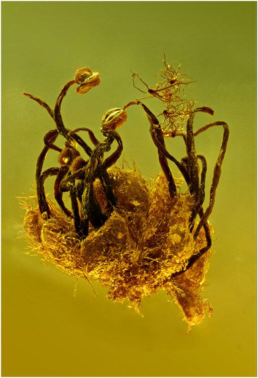 7050, Oak Flower, Eichenblüte, Baltic Amber
