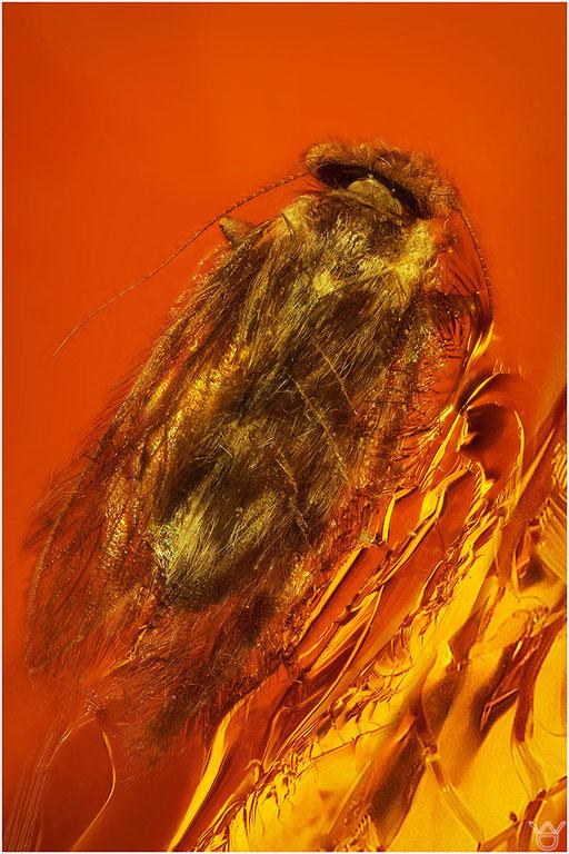 462. Psocoptera, Staublaus, Amber