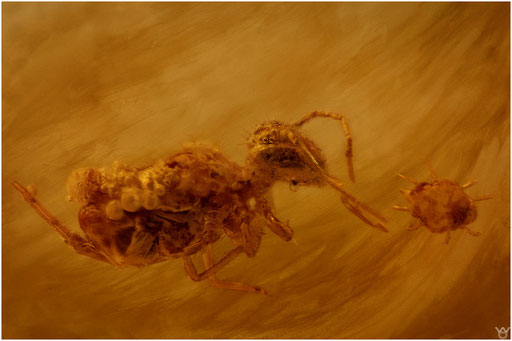 17. Collembola, Springschwanz, Baltic Amber