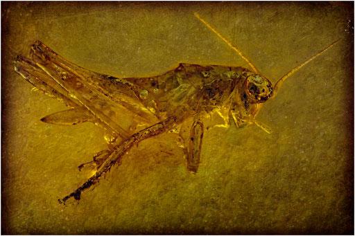 227. Orthoptera, Heuschrecke, Baltic Amber