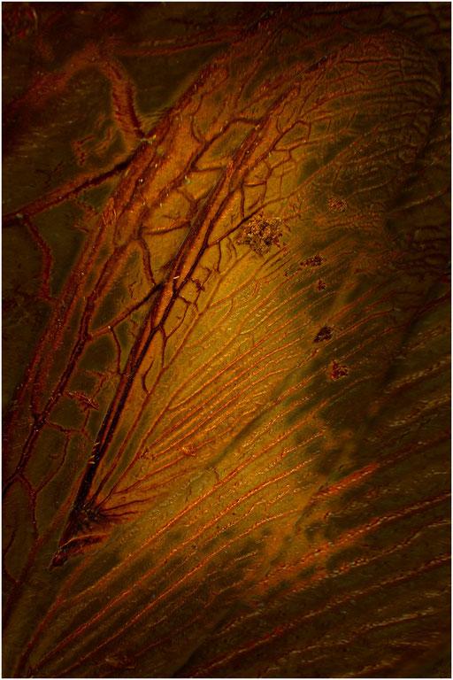 341. Termitenflügel, Baltic Amber