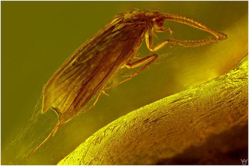 39, Trichoptera, Köcherfliege, Baltic Amber