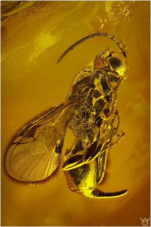 496.  Proctotrupidae, Wespe, Baltic Amber
