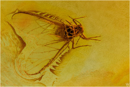 283. Aphidina, Blattlaus, Baltic Amber