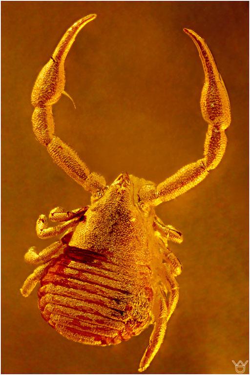 435. Pseudoscorpiones, Pseudoskorpion, Baltic Amber
