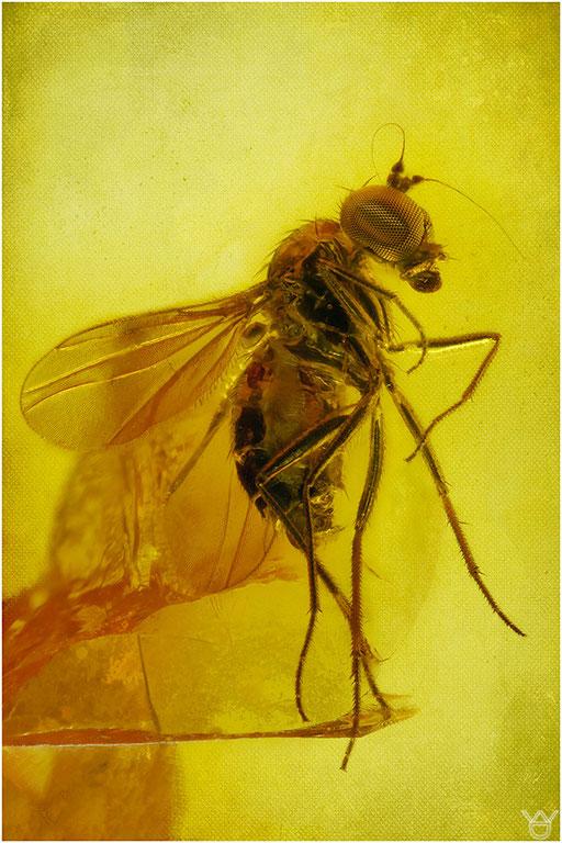 489. Brachycera, Fliege, Baltic Amber