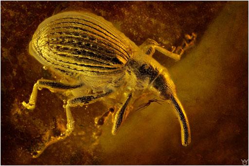 317. Curculionidae, Rüsselkäfer, Baltic Amber