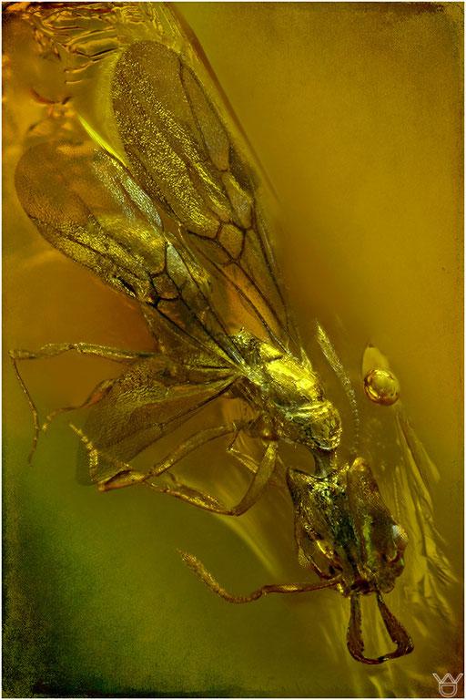 243. Formicidae, Klappzangenameise, Dominican Amber