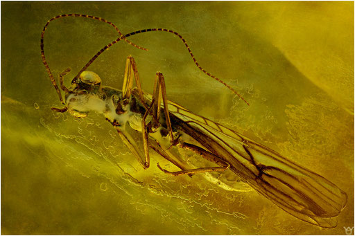 147. Plecoptera, Steinfliege, Baltic Amber