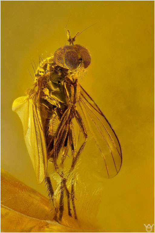 474. Brachycera, Fliege, Baltic Amber