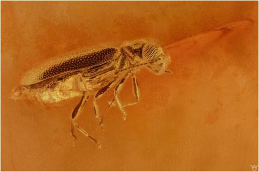 280. Coleoptera, Käfer, Baltic Amber