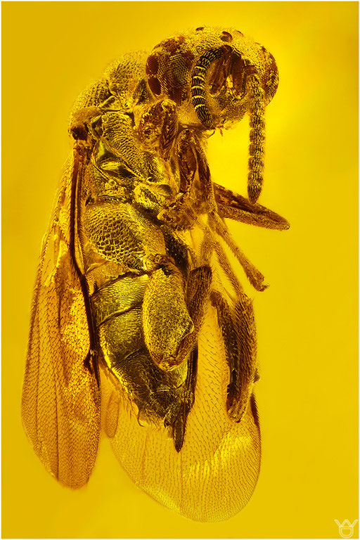 459. Hymenoptera, Wespe, Dominican Amber