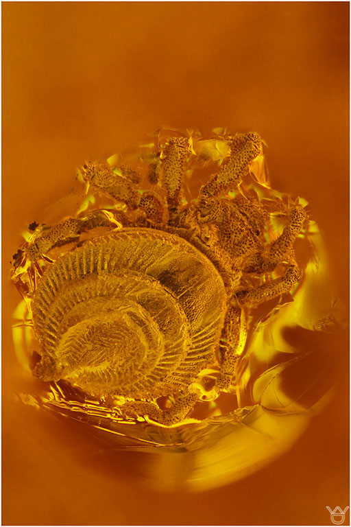 530. Acari, Milbe, Baltic Amber