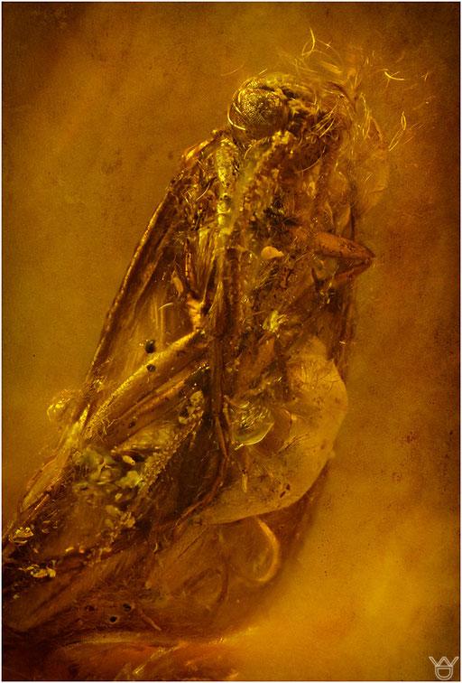 447. Trichoptera, Köcherfliege, Baltic Amber