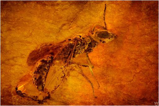480. Crabronidae, Grabwespe, Baltic Amber