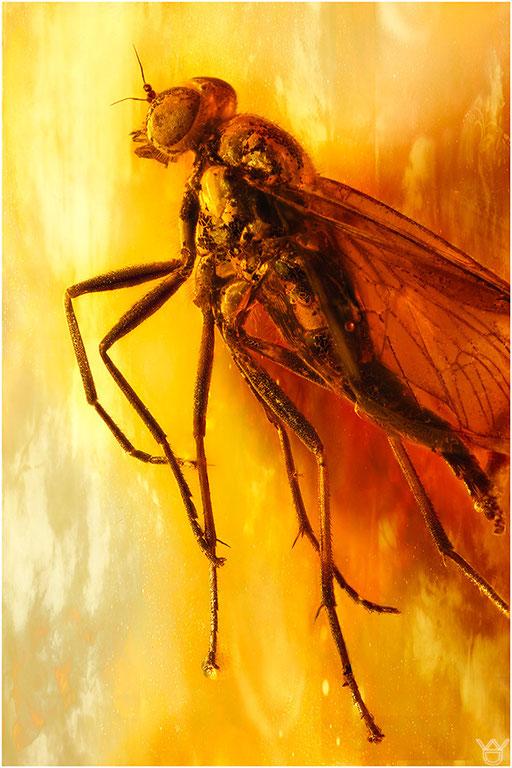 537. Brachycera, Fliege, Baltic Amber