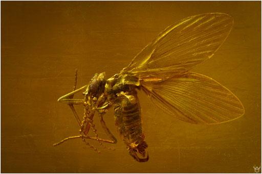 309. Nematocera, Mücke, Psychodidae, Schmetterlingsmücke, Baltic Amber