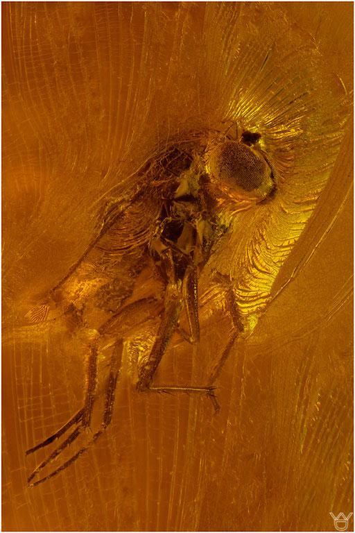 231b. Brachycera, Fliege, Baltic Amber