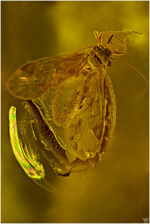 15b. Psocoptera, Staublaus, Baltic Amber
