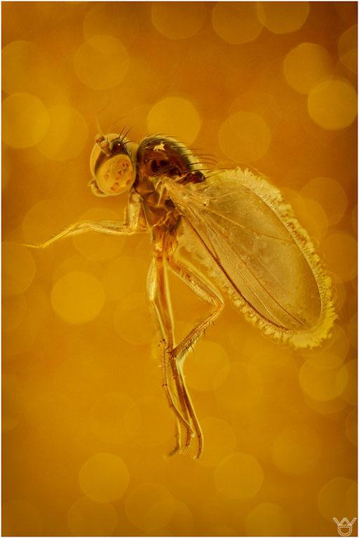 241. Brachycera, Fliege, Baltic Amber