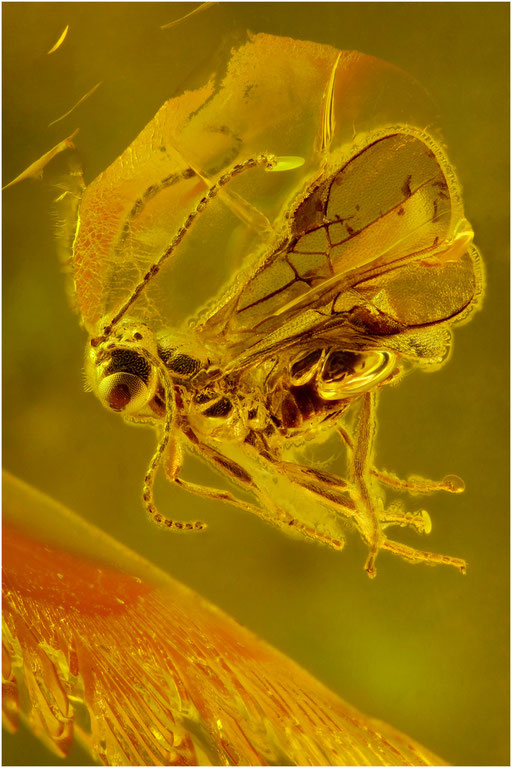 522. Braconidae, Brackwespe, Baltic Amber