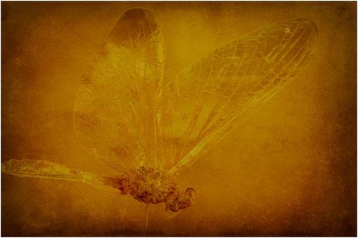 214. Ephemeroptera, Eintagsfliege, Baltic Amber