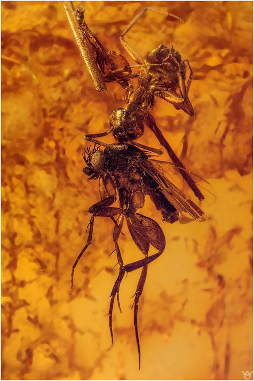 145. Nematocera, Mücke, Phoridae, Buckelfliege, Formicidae, Ameise, Baltic Amber