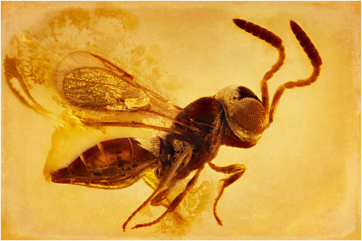 197.  Ceraphronidae, Wespe, Baltic Amber