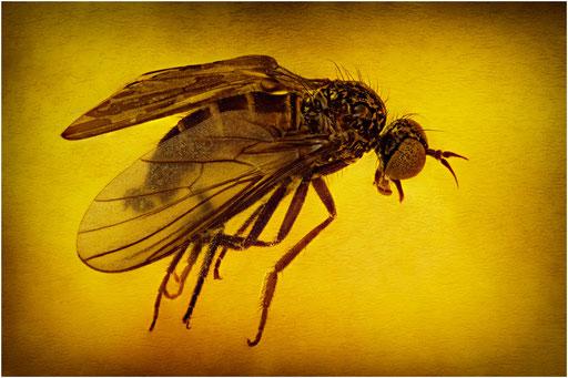 186. Hybotidae, Buckeltanzfliege, Baltic Amber