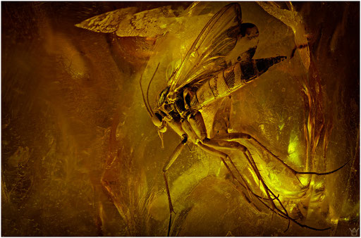 25. Mycetophilidae, Pilzmücke, Baltic Amber