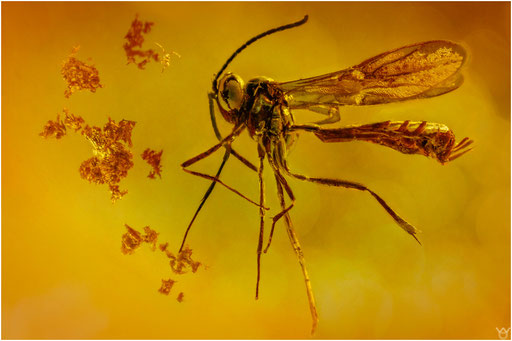 347. Hymenoptera, Wespe, Baltic Amber